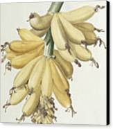 Bananas Canvas Print by Pierre Joseph Redoute