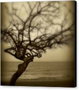 Beach Tree Canvas Print by Perry Webster