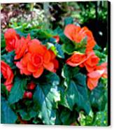 Begonia Plant Canvas Print by Corey Ford