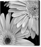 Black And White Gerbera Daisies 1 Canvas Print by Amy Fose