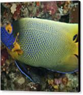 Blue Face Angelfish Canvas Print by Steve Rosenberg - Printscapes