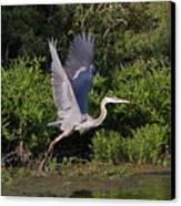 Blue Heron Canvas Print by Robert Pearson