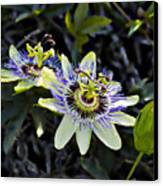Blue Passion Flower Canvas Print by Kelley King
