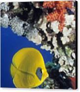 Bluecheek Butterflyfish Canvas Print by Georgette Douwma