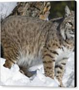 Bobcat Lynx Rufus In The Snow Canvas Print by Matthias Breiter
