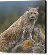 Bobcat Mother And Kittens North America Canvas Print by Tim Fitzharris