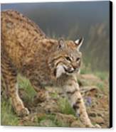 Bobcat Stalking North America Canvas Print by Tim Fitzharris