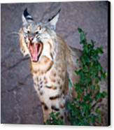 Bobcat Yawn Canvas Print by Randall Ingalls