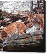 Bobcats On The Loose Canvas Print by Brad Hoyt