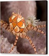 Boxer Crab On Sponge Lybia Tesselata Canvas Print by Tim Laman