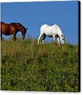 Brown And White Horse Grazing Together In A Grassy Field Canvas Print by Sami Sarkis