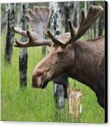 Bull Moose Portrait Canvas Print by Cathy  Beharriell