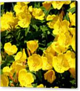 Buttercup Flowers Canvas Print by Corey Ford