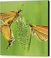 Butterflies Canvas Print by Mircea Costina Photography