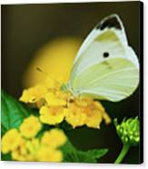 Cabbage White Butterfly Canvas Print by Betty LaRue