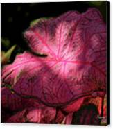 Caladium Mystery Canvas Print by Suzanne Gaff
