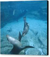 California Sea Lions At Play,  Zalophus Canvas Print by James Forte