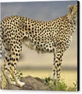 Cheetah Acinonyx Jubatus On Termite Canvas Print by Winfried Wisniewski