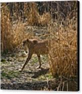 Cheetah  In The Brush Canvas Print by Douglas Barnett