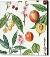 Cherries And Other Fruit-bearing Trees  Canvas Print by Elizabeth Rice