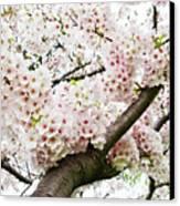 Cherry Blossom Canvas Print by Sky Noir Photography by Bill Dickinson