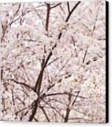Cherry Blossom Spring Canvas Print by Ariane Moshayedi