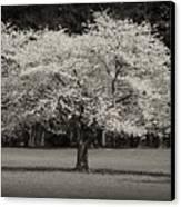 Cherry Blossom Tree - Ocean County Park Canvas Print by Angie Tirado