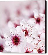 Cherry Blossoms Canvas Print by Elena Elisseeva