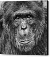 Chimpanzee Portrait 1 Canvas Print by Richard Matthews