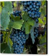 Close View Of Chianti Grapes Growing Canvas Print by Todd Gipstein