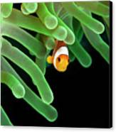 Clownfish On Green Anemone Canvas Print by Alastair Pollock Photography