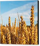Corn Blowing In The Wind Canvas Print by Chris Smith