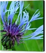 Cornflower Centaurea Montana Canvas Print by Diane Greco-Lesser