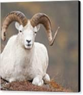 Dall Sheep Ram Canvas Print by Tim Grams
