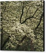 Delicate White Dogwood Blossoms Cover Canvas Print by Raymond Gehman