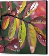 Dew On Wild Rose Leaves In Fall Canvas Print by Darwin Wiggett