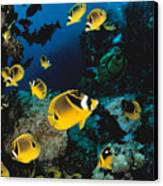 Diver And Butterflyfish Canvas Print by Dave Fleetham - Printscapes