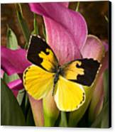 Dogface Butterfly On Pink Calla Lily  Canvas Print by Garry Gay