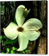 Dogwood Blossom I Canvas Print by Julie Dant