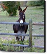 Donkey At The Fence Canvas Print by D Winston