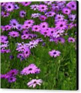 Dreaming Of Purple Daisies  Canvas Print by Carol Groenen