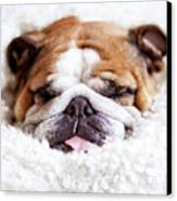 English Bulldog Sleeping In Fluffy White Blanket Canvas Print by Hanneke Vollbehr