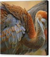 Evolving Sandhill Crane Beauty Canvas Print by Carol Groenen