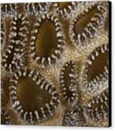 Extreme Close-up Of A Crust Anemone Canvas Print by Terry Moore