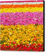 Flower Fields Carlsbad Ca Giant Ranunculus Canvas Print by Christine Till
