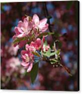 Flowering Pink Dogwood Canvas Print by Frank Mari