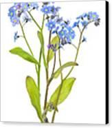 Forget-me-not Flowers On White Canvas Print by Elena Elisseeva