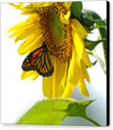 Glowing Monarch On Sunflower Canvas Print by Edward Sobuta