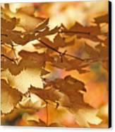 Golden Light Autumn Maple Leaves Canvas Print by Jennie Marie Schell