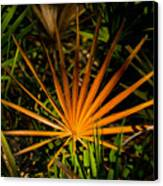 Golden Saw Palmetto Canvas Print by John Myers